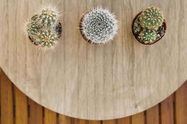 A e dini që kaktuesi ka veti shëruese dhe ushqyese?